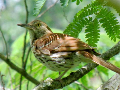 brown thrasher s nesting habits bring this golden eyed