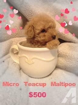 Teacup Puppies Teddy Bear Face  E  A For Sale In La Verne California Cl Ified Americanlisted Com
