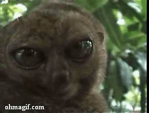 Funny dramatic lemur - Funny Gifs and Animated Gifs