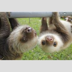 It 39 S Sloth Week So Here 10 Great Facts About Sloths Metro News Cute Pictures Of Baby  Litle Pups