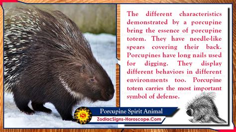 porcupine spirit animal meaning messages symbolism dreams zsh