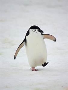 285 best Chinstrap Penguin images on Pinterest | Penguins ...