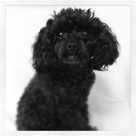 black  white poodle dogs pinterest poodles black