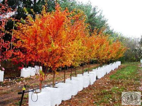 winter hill tree farm coral bark maple acer palmatum