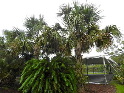 plantfiles pictures bay palmetto thatch palm sabal yapa