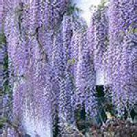 wisteria floribunda macrobotrys buy  lilac wisteria