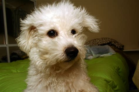 File Ee  Bichon Ee   Frise Jpg Wikimedia Commons