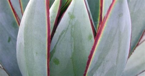 agave blue glow gorgeous color and form agaves picnics and style