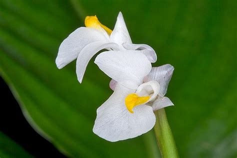 fiori ermafroditi marantochloa cordifolia monaco nature encyclopedia