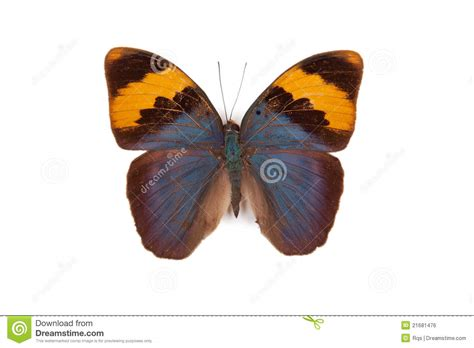Blue And Yellow Butterfly Euphaedra Neophron Royalty Free