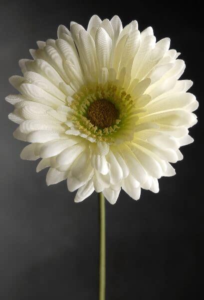 dozen white gerbera daisies