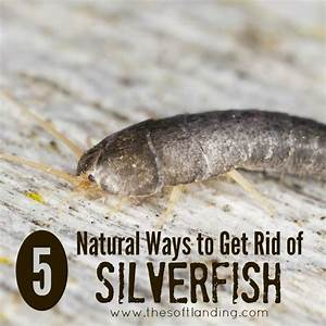 5 Natural Ways to Get Rid of Silverfish The Soft Landing®