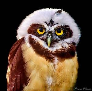 Beautiful Spectacled Owl! | Owls | Pinterest