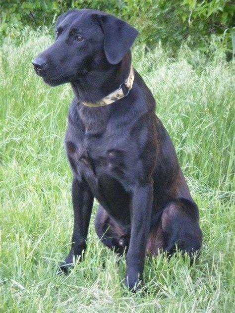 field bred american black lab puppies