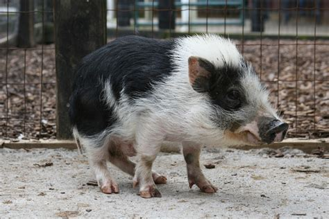 mini pot belly pig miniature potbellied pigs tanglewood farm miniatures