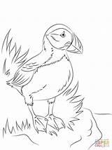 Puffin Coloring Atlantic Printable Seabird Puffins Bird Coloriage Pole North Papageientaucher Ausdrucken Malvorlagen Zum Sheets Colouring Drawing Template Patterns Printables sketch template