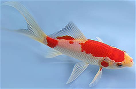 meet   popular types  fish  ponds tetra