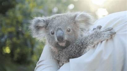 Koala Koalas Animals Australia Zoo Ever Hospital
