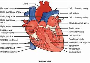 Diagram Of The Heart Labeled Structure Of The Human Heart