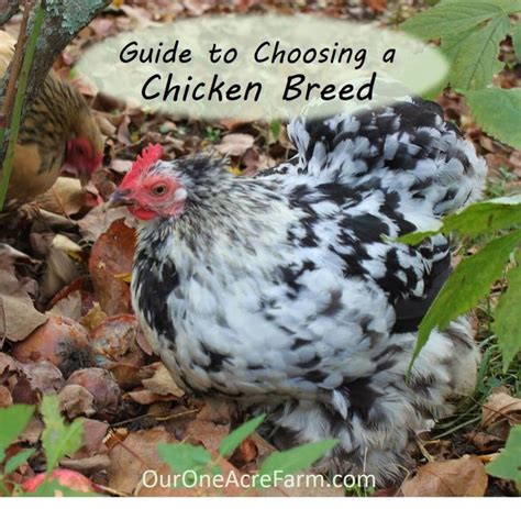 1000 ideas about chicken breeds on hens