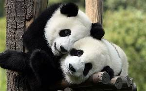 Animal Panda Pictures Cool PC Wallpaper 2560x1600 - Cool ...