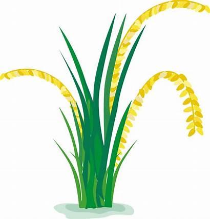 Rice Paddy Cartoon Field Clipart Background Padi