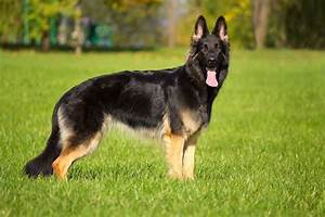 50 awesome german shepherd dog pictures golfiancom With where to buy german shepherd dog
