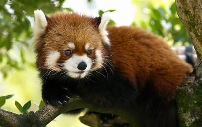 Panda Animal Wallpapers Animals Funny Lesser
