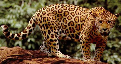 Jaguar Picture by For Jaguars Armored Prey Is No Obstacle Science News