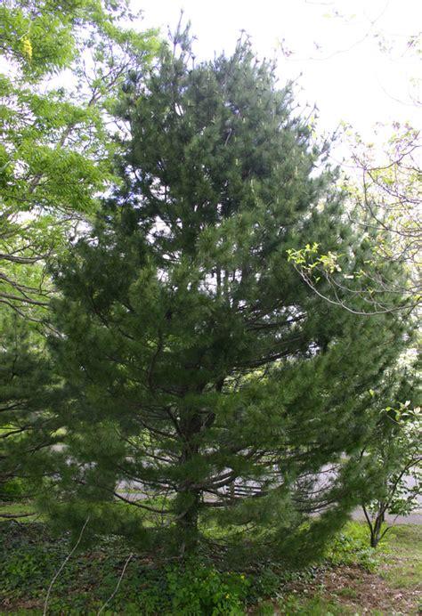 peuce pinus tree selectree