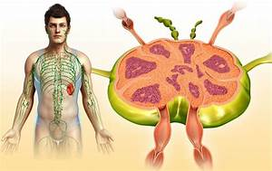 Anatomy And Functions Of Lymph Nodes