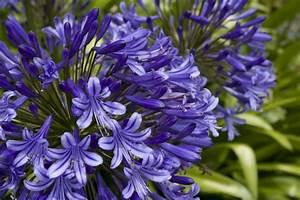 Graines D Agapanthe : quand planter graine agapanthe ~ Melissatoandfro.com Idées de Décoration