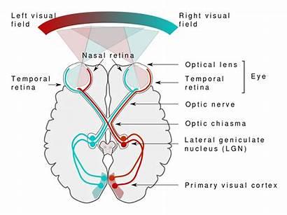 Visual Pathway Human Svg Bestand Pixels Wikipedia