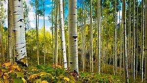 Aspens, And, Spring, Deciduous, Tree, Trees, Nature, Landscape, Hd