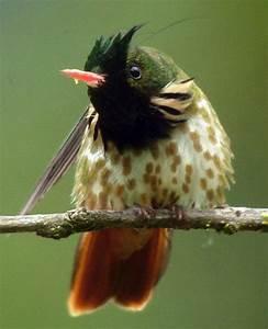 Costa Rica (east) Hummingbirds (Operation RubyThroat ...