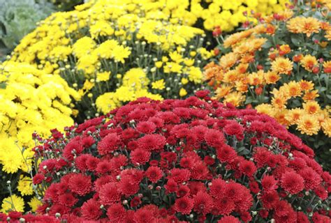 How to Plant Mums | eHow