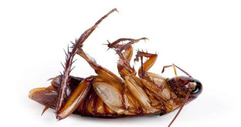 ratten im haus meldepflichtig kakerlake gefunden so wirst du k 252 chenschaben los