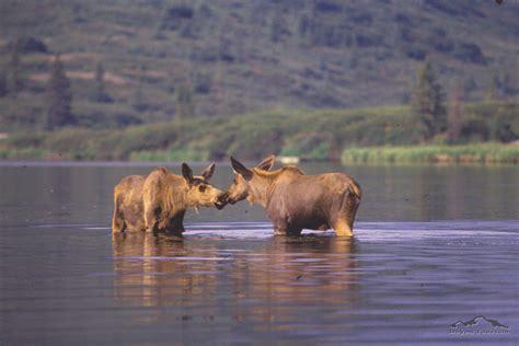 wildlife in denali national park close up photos of