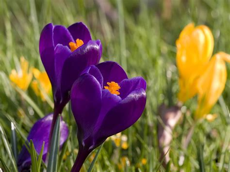 crocus pictures mabley green meadow mabley meadow spring guide