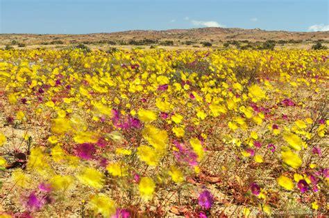 flowers that bloom at atacama desert blooming flowers of desierto florido in chile