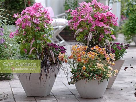 gap gardens patio containers of lavatera trimestris