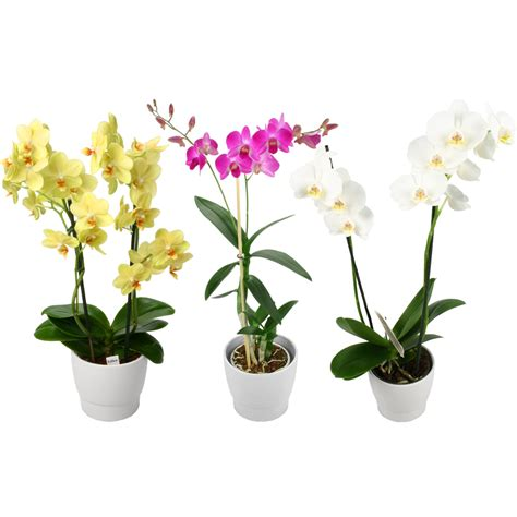comment soigner une orchidee en pot 28 images orchid 233 e blanche en pot conseils d