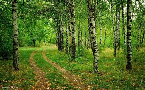 birch tree backgrounds wallpaperwiki