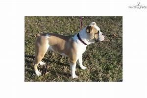 Meet Pebbles a cute English Bulldog puppy for sale for ...