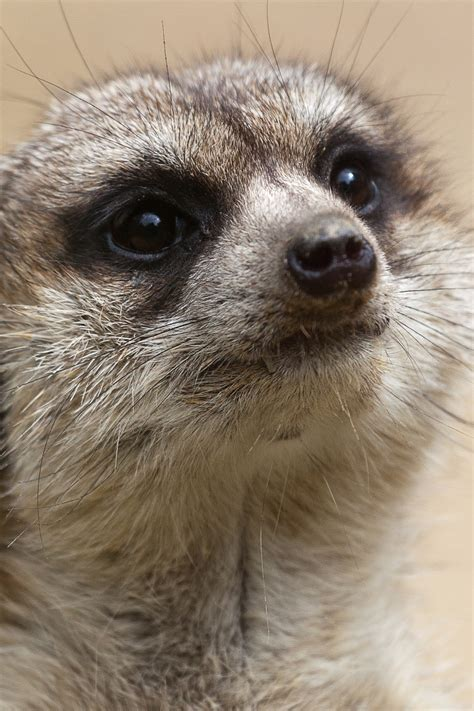 meerkat portrait  stock photo public domain pictures