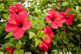 biotechnology in ornamental plants pocket k isaaa org