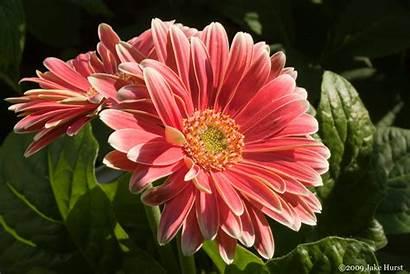 Gerber Daisy Gerbera Flower Flowers Pink Daisies