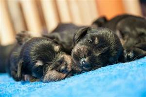 Raising Newborn Puppies – American Kennel Club
