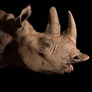 Black Rhinoceros | National Geographic