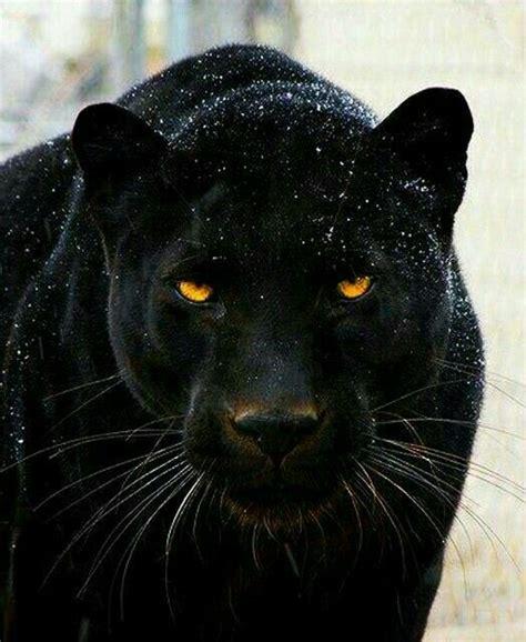 coolest jaguar cat best 25 black jaguar animal ideas on panther